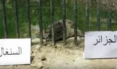 تمساحان يتوقعان نتيجة نهائي كاس افريقيا بين الجزائر والسنغال
