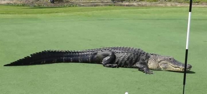 تمساح ضخم يتسلل الى ميدان رياضي