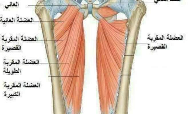 ما هي إصابات العضلة الضامة ؟