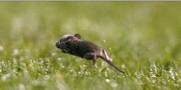 فئران تعبث بالاولد ترافورد والسقف يرشح ماءً