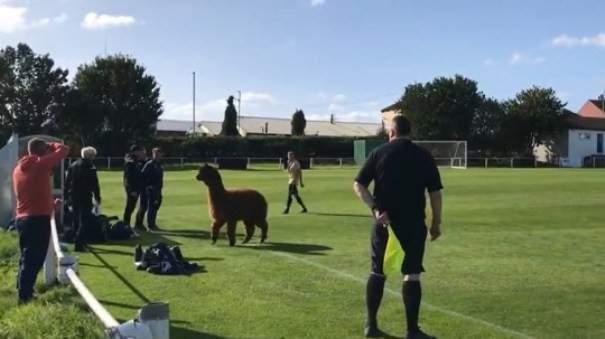 حيوان الباكا يقتحم ملعب مباراة في انكلترا